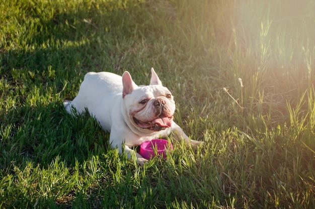 Il bulldog francese con i fronti di smiley si corica sull'erba