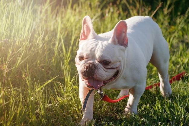 Bulldog francese con faccine che camminano sull'erba. ritratto di cane felice