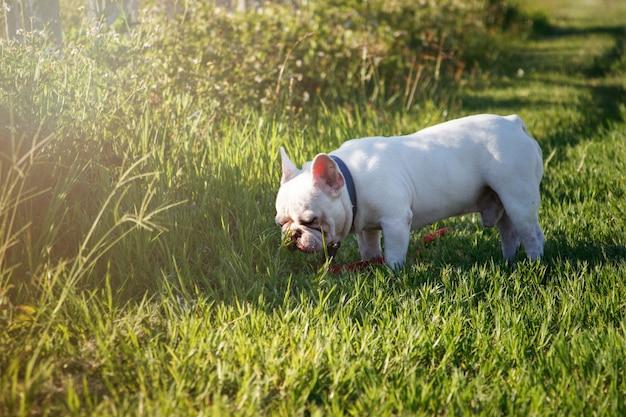 Bulldog francese con faccine che camminano sull'erba