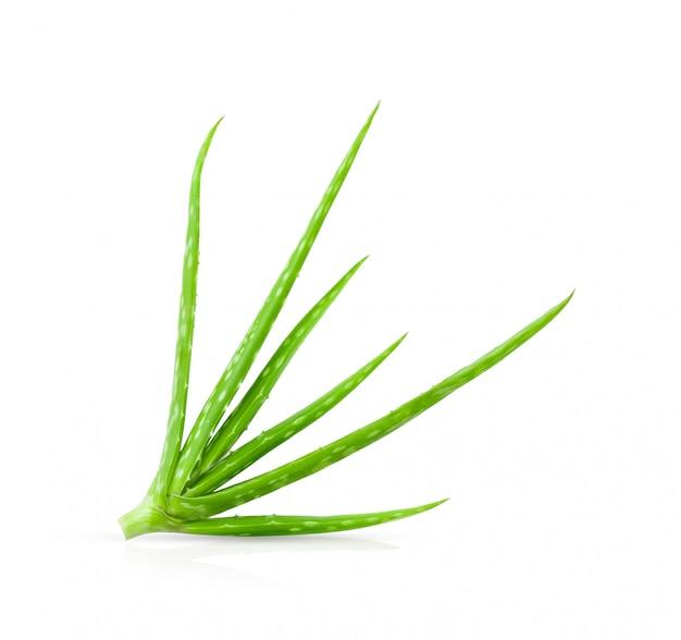 Aloe vera fresca isolata su bianco