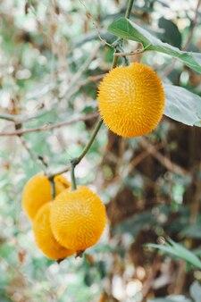 Giaca fresca del bambino sull'albero nella porta fuori dell'azienda agricola della frutta.