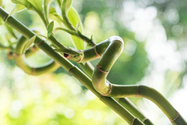 Albero di bambù fresco in natura.
