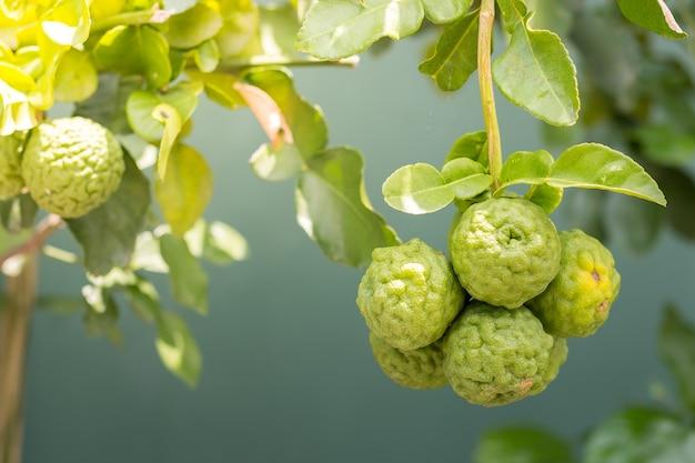 Il bergamotto fresco dall'albero è fragrante c'è un vantaggio da usare come erba medicinale