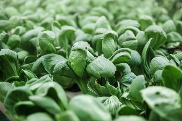 Il bok choy fresco, il pak choi o il pok choi vengono coltivati con il metodo idroponico e sono pronti per essere raccolti.