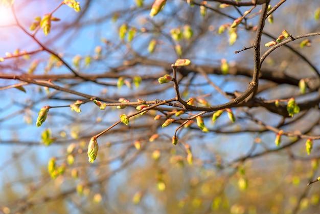 Boccioli freschi di foglie sui rami in raggi di sole messa a fuoco morbida poster floreale o biglietto di auguri