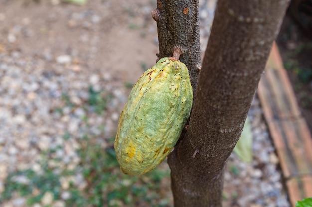 Baccelli di cacao freschi dall'albero del cacao