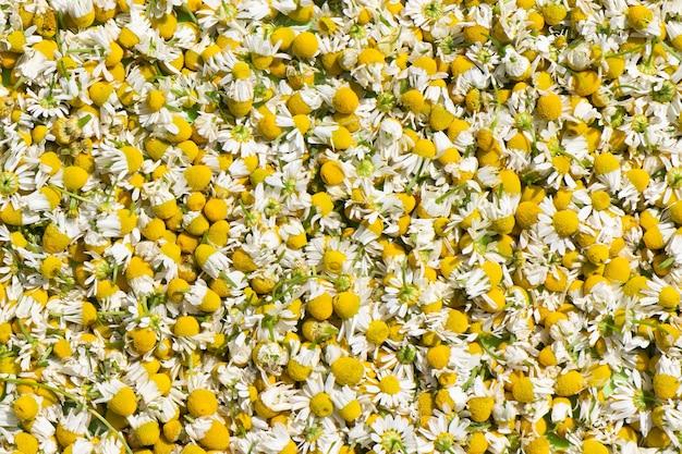 Sfondo di fiori di camomilla fresca. struttura delle teste dei fiori di camomilla tagliata.
