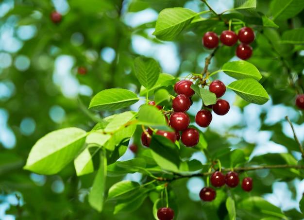 Ciliege fresche sull'albero con foglie verdi.