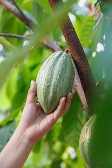 Baccelli di cacao freschi in mano