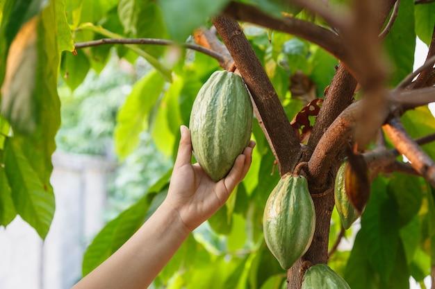 Baccelli di cacao fresco in mano