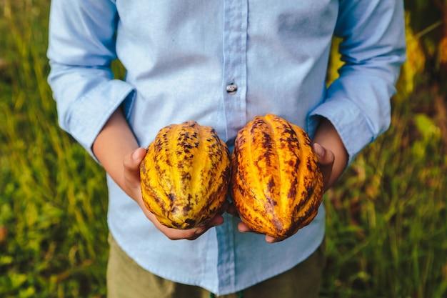Baccelli di cacao freschi nelle mani degli agricoltori
