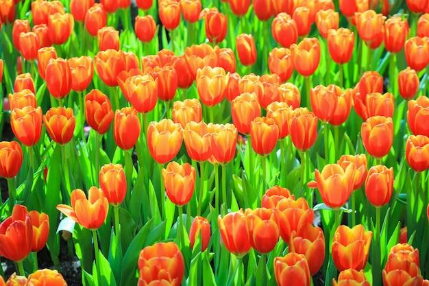 I tulipani colorati freschi fioriscono nel giardino
