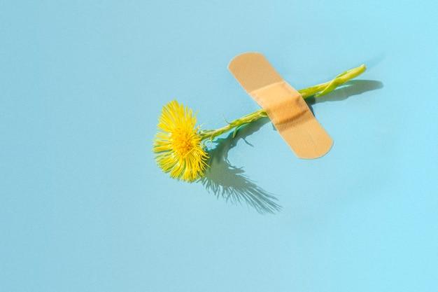 Fiore fresco del coltsfoot (tussilago farfara) sotto cerotto adesivo sul blu.