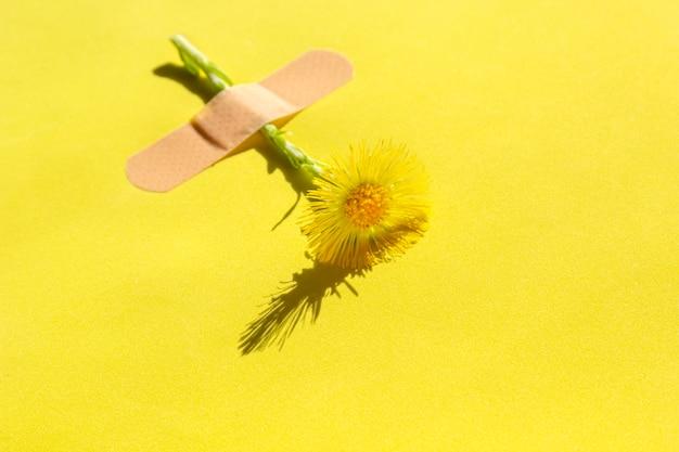 Fiore fresco di farfara (tussilago farfara) sotto cerotto adesivo su giallo.