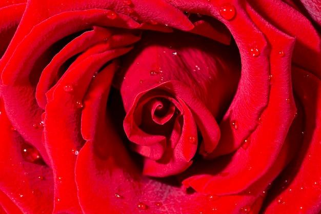 Le rose rosso scuro fresche si chiudono sul fondo di struttura