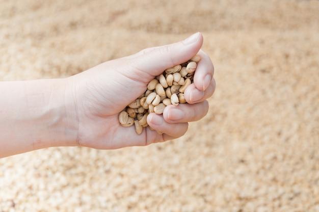 Chicchi di caffè secchi freschi in mano del coltivatore di donne