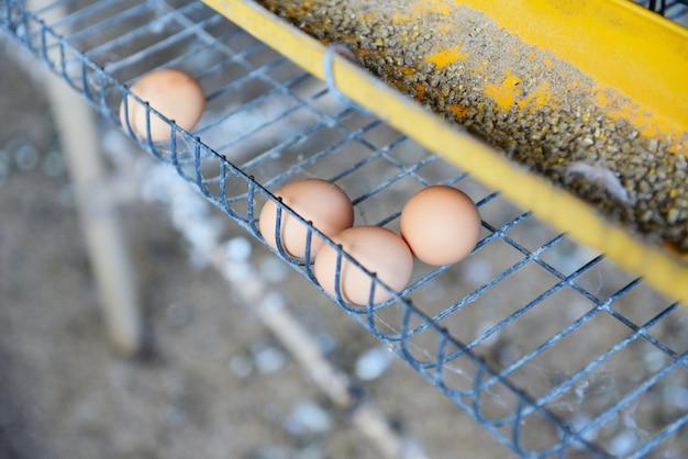 Uovo fresco nell'allevamento di polli organico