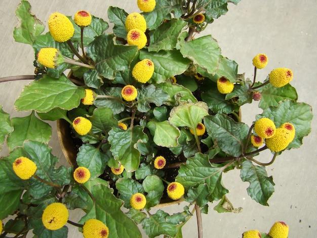 Fioritura fresca per piante di crescione, spilanthes oleracea