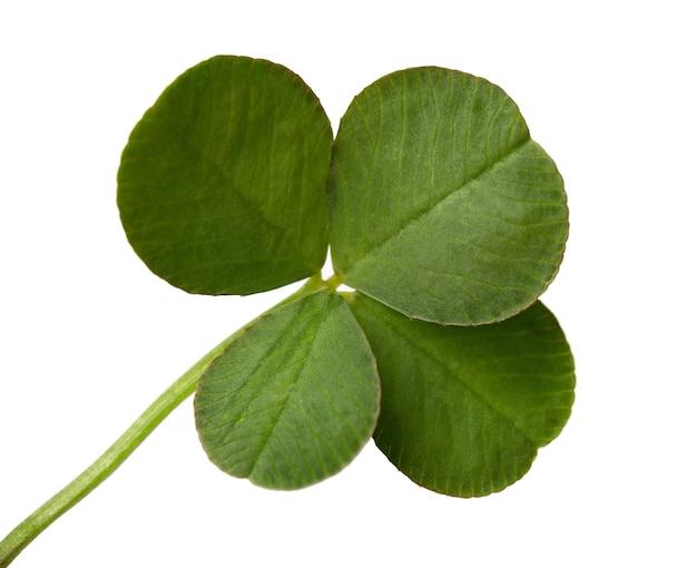 Un trifoglio fresco di quattro foglie isolato