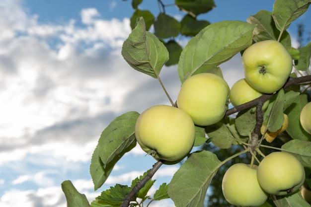 Mele verdi fresche su un albero in un giardino estivo contro un cielo blu con nuvole, spazio copia. concetto di cibo dieta sana naturale. fondo naturale della mela della frutta.