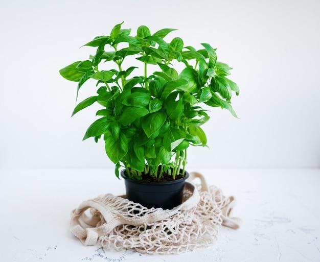 Pianta di basilico verde fresco in vaso nero con un sacchetto di corda