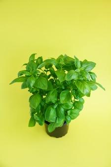 Pianta di basilico verde fresco in vaso nero su un giallo