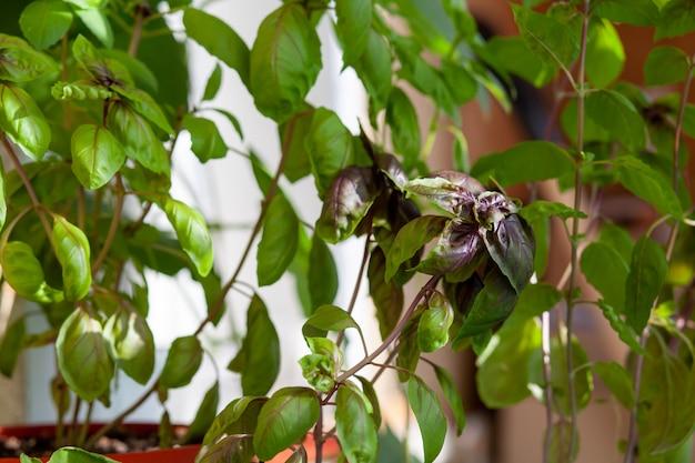 Il basilico verde fresco in vaso cresce in casa, sul balcone. le foglie di basilico verde sono pronte per la cottura. erbe fresche per cucinare pizza, insalate e altri cibi