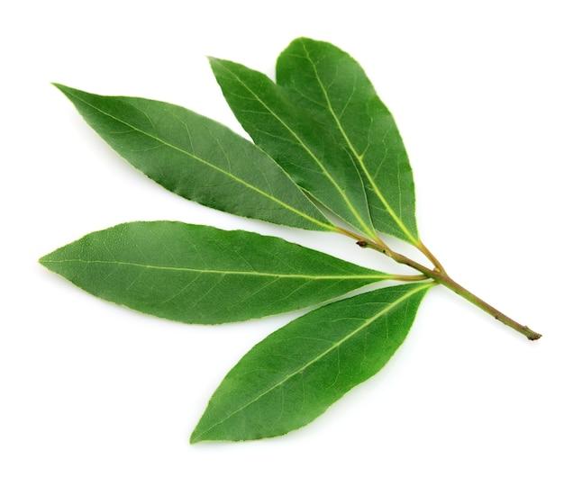 Foglia di alloro fresca e verde su sfondo bianco