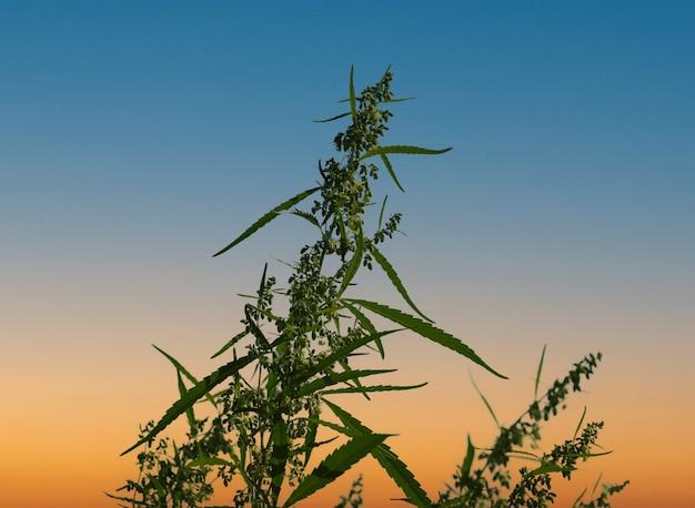 Cannabis verde fresca o canapa in fiore sopra il cielo al tramonto blu e arancione