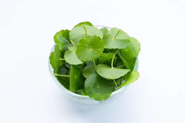 Foglie verdi fresche di centella asiatica o ciotola di vetro della pianta della centella asiatica su bianco