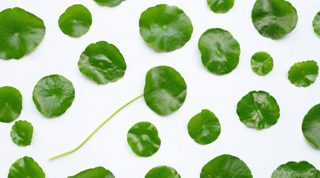 Foglie verdi fresche di centella asiatica o pianta di centella asiatica su bianco. vista dall'alto