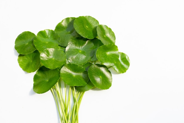 Foglie verdi fresche di centella asiatica o pianta di centella asiatica su bianco