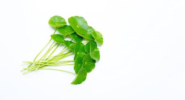 Foglie asiatiche fresche di centella verde o pianta del pennywort dell'acqua