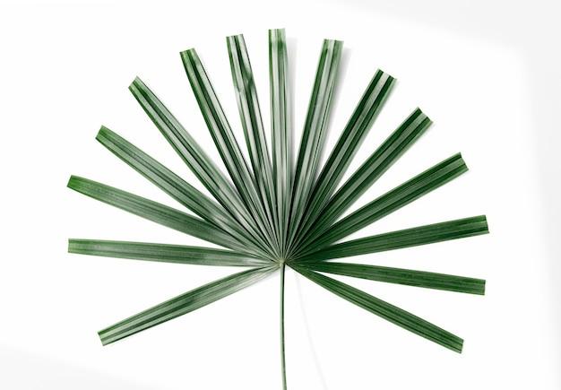 Foglia di palma a ventaglio verde fresca su uno sfondo bianco sporco