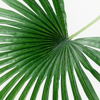 Foglia di palma a ventaglio verde fresca su uno spento
