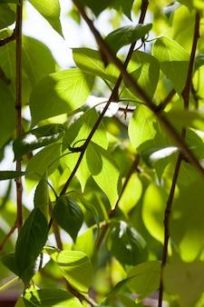 Fogliame verde fresco di un albero, stagione primaverile nel parco e nella foresta