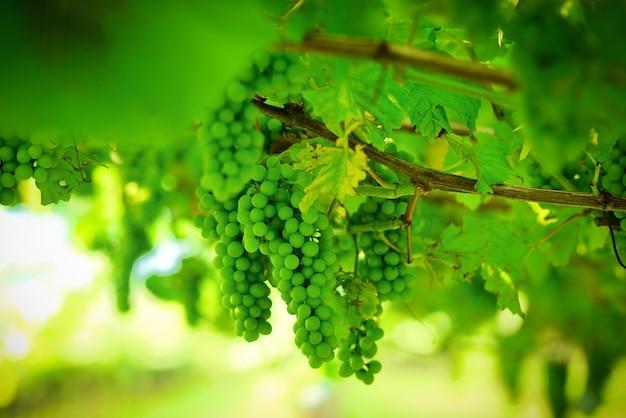 Uva verde fresca sulla vite un giovane grappolo d'uva nella vigna in primavera