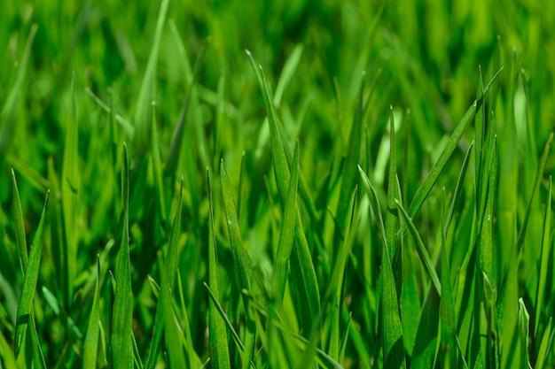 Erba verde fresca in una giornata di sole sfondo naturale da vicino