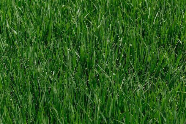 Erba verde fresca in una giornata di sole.