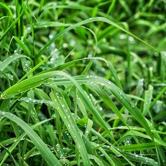 Erba verde fresca con gocce d'acqua