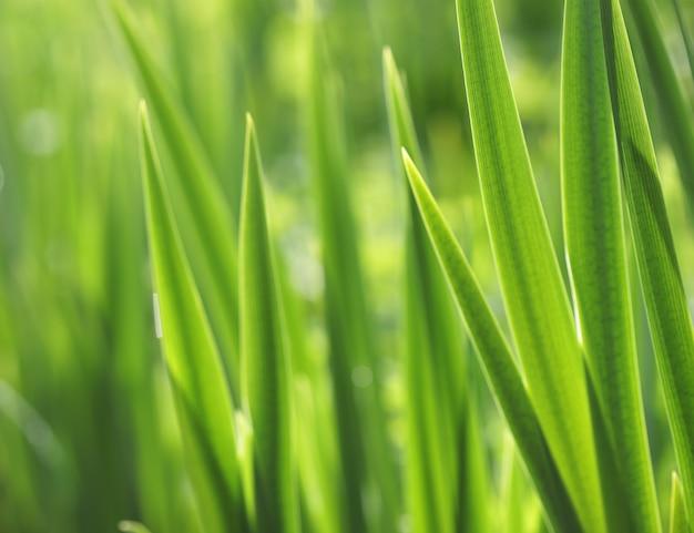 Erba verde fresca con goccioline di acqua nel sole, primi piani