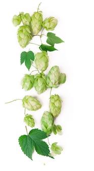 Ramo di luppolo verde fresco, isolato su uno sfondo bianco. coni di luppolo per fare birra e pane. avvicinamento