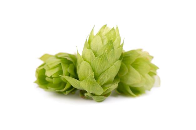 Ramo verde fresco del luppolo, isolato su fondo bianco