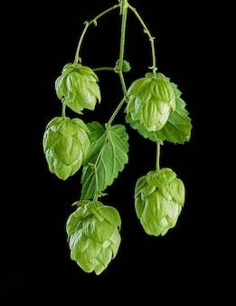 Macro fresca dei coni della pianta di luppolo verde isolata su fondo nero