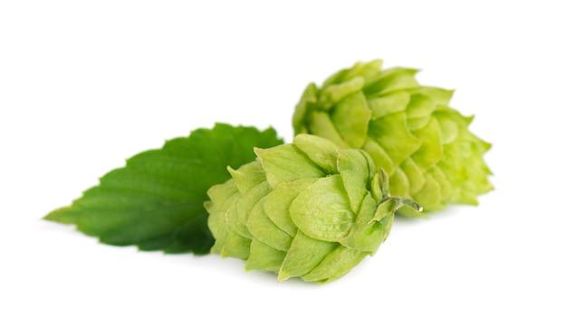 Ramo di luppolo fresco verde, isolato su uno sfondo bianco. coni di luppolo con foglia. fiori di luppolo biologici. avvicinamento.