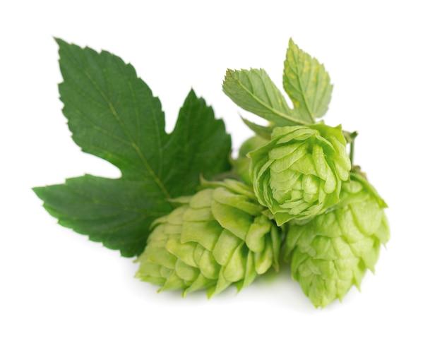 Ramo di luppolo verde fresco isolato su uno sfondo bianco coni di luppolo con fiori di luppolo organico foglia vicino