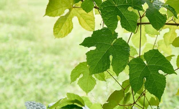 Foglie verdi fresche della vite