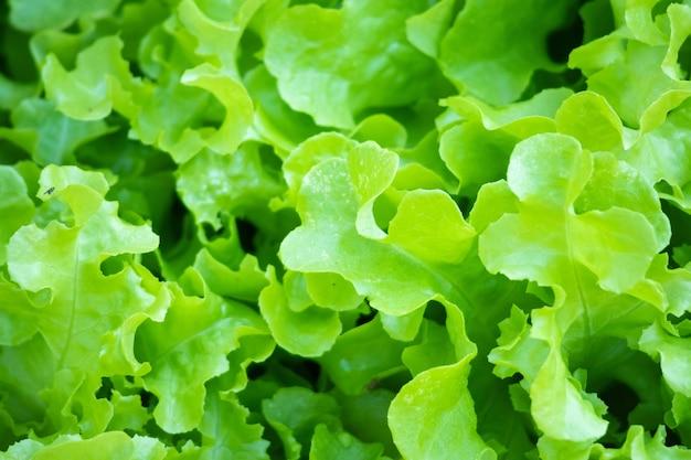 Insalata di lattuga verde fresca lascia la priorità bassa