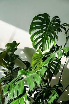 Pianta d'appartamento monstera verde fresca nel soggiorno sopra il muro bianco