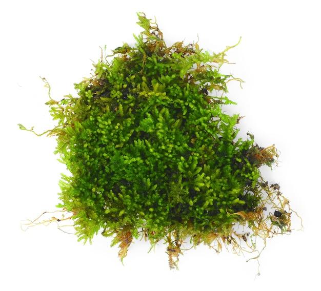 Muschio verde fresco su sfondo.